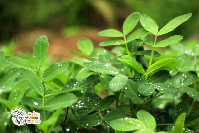 فوائد نبات السعد على الجسم