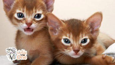 كيفية تربية القطط وطريقة اختيارها