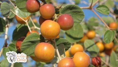 ما هي فوائد ثمرة السدر