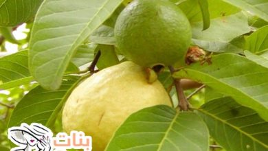 فائدة أوراق الجوافة