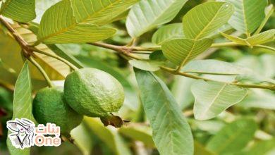 ما هي فوائد ورق الجوافة